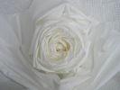 白花色(ホワイト)